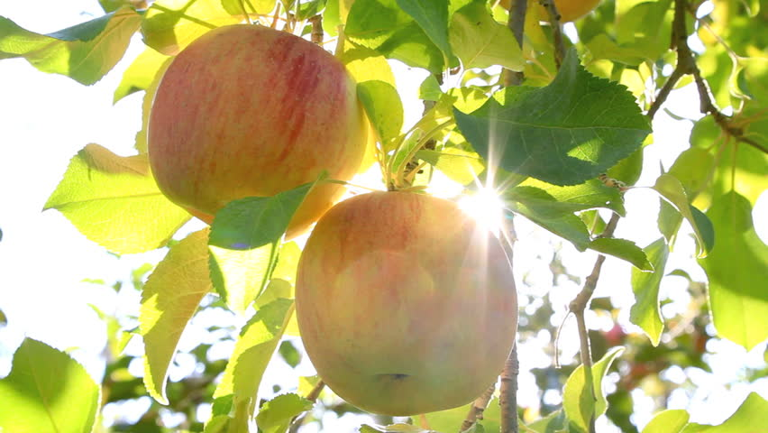 Hand picking an apple from the tree. The sun shines through the apple tree.  | Shutterstock HD Video #5139047