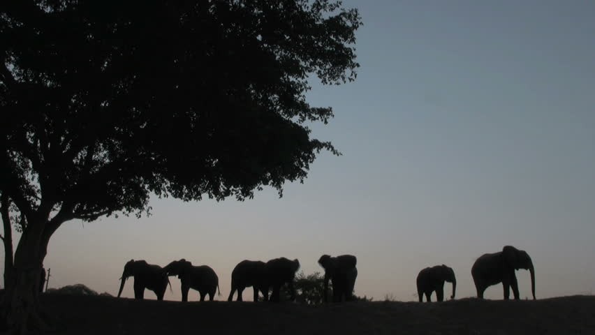 Elephant Group Sunset - HD stock footage clip