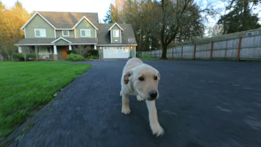 Puppy running - HD stock video clip