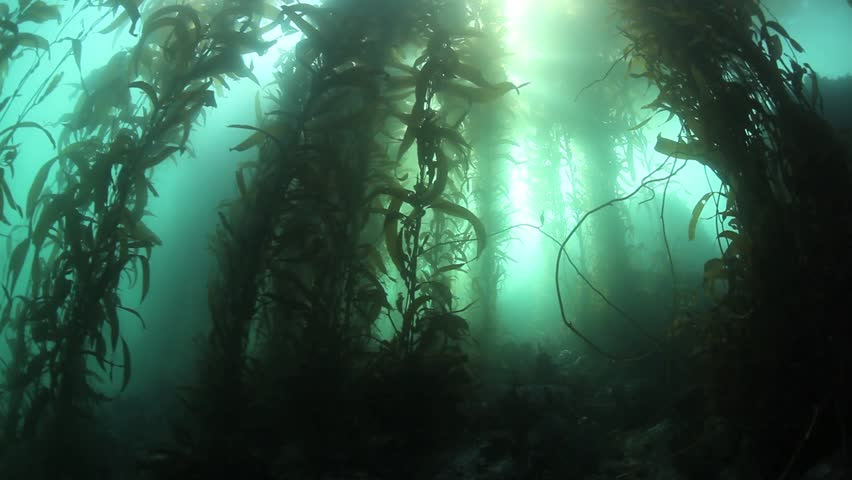 Giant kelp (Macrocystis pyrifera) grows up towards the surface of Monterey Bay,