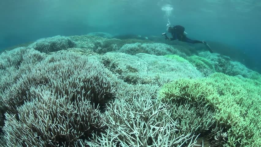 Coral bleaching occurs when sea surface temperatures rise causing the symbiotic zooxanthellae within the coral polyps to be expelled. Without zooxanthellae the corals look white or pastel in color. | Shutterstock HD Video #5175641