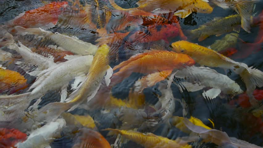 Koi fish on the surface multi colored koi fish swim on for Surface fish ponds
