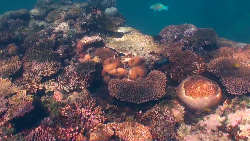 Green turtle feeding (Chelonia mydas)   Shutterstock HD Video #5180285