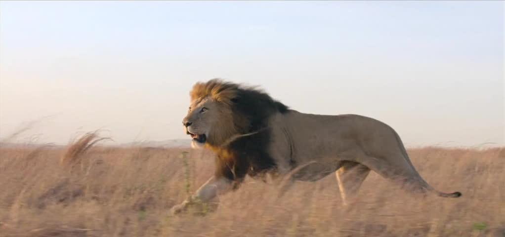 Lion in the wild. | Shutterstock HD Video #5242448