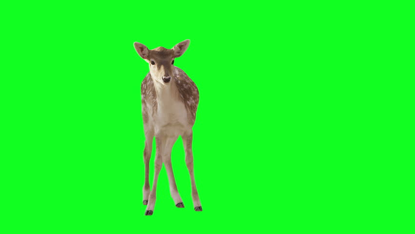 Deer on green screen. Alpha channel included. Shot with red camera ready to be keyed.