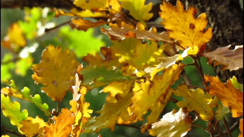 Oak tree leaves in wind breeze - autumnal colors with green background