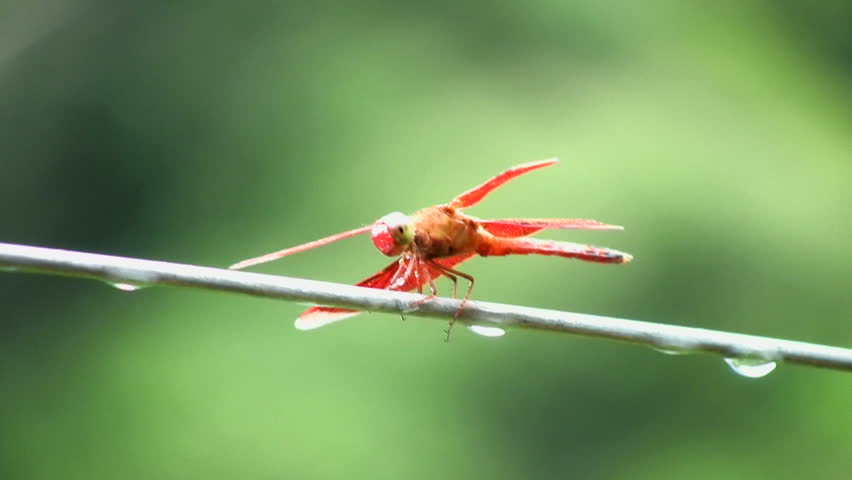 Red dragonfly, Batad, Philippines