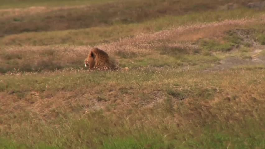 Lion lies in the tall grass and enjoys the breeze. - HD stock footage clip