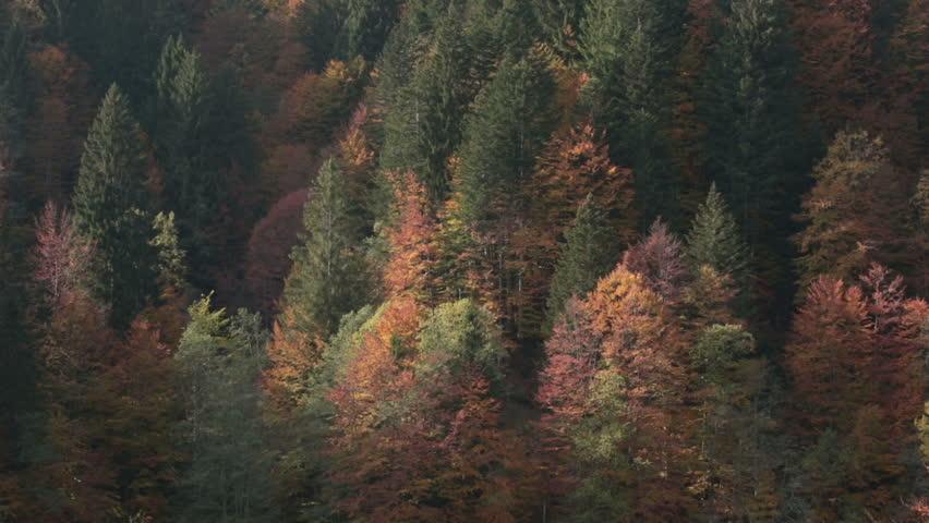 Pine tree forest in autumn | Italian alps | Static Shot Static shot of a pine tree forest in the Italian alps in autumn. A view of Friuli Venezia Giulia mountain landscape. - HD stock video clip