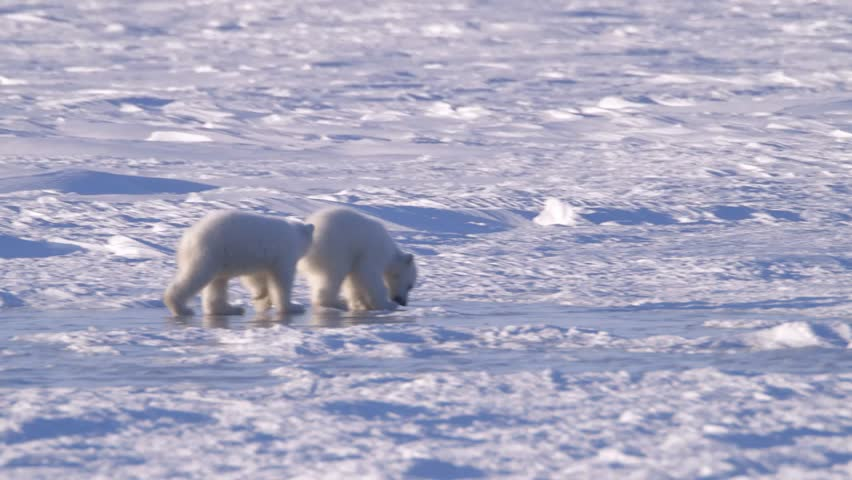 A polar bear cubs learning to walk on ice in an arctic landscape.