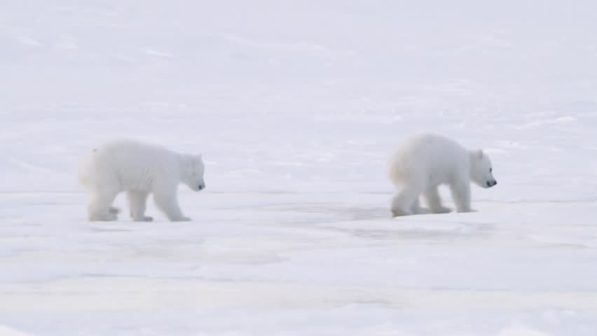 Pair of polar bear cubs walking in the arctic.