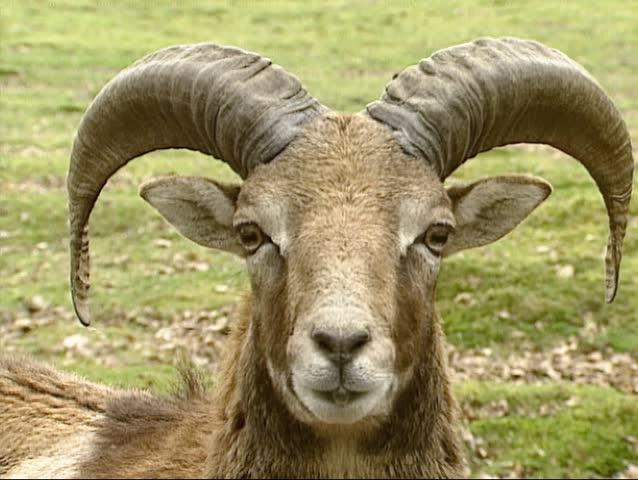 Mouflon ram (Ovis aries orientalis). The mouflon is a subspecies group of the wild sheep Ovis orientalis   Shutterstock HD Video #5379527
