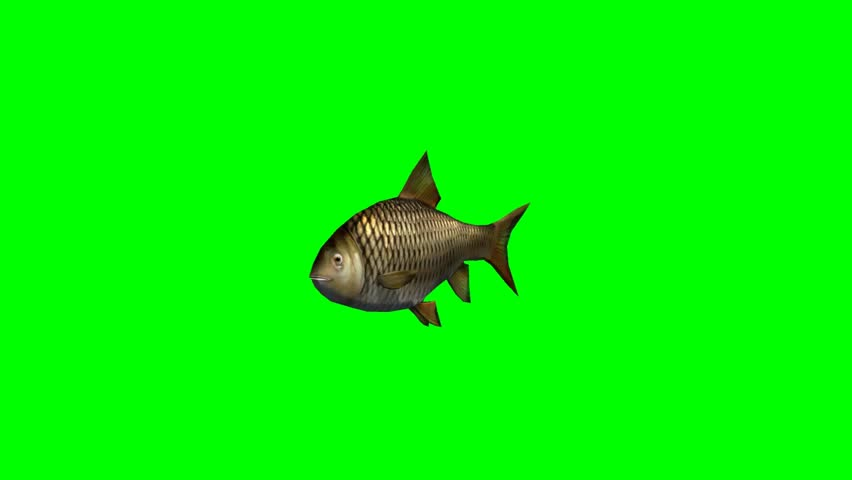 Carp fish swimming fast seperated on green screen stock for What is the fastest swimming fish