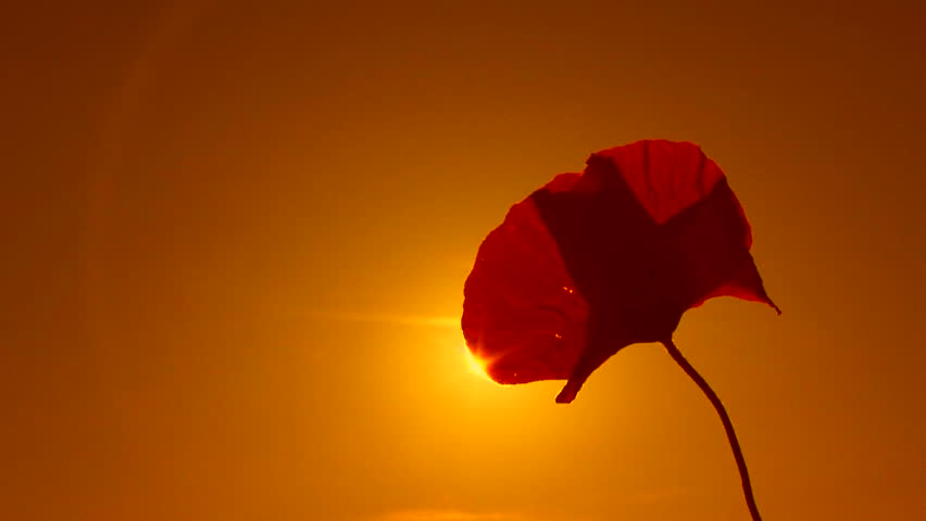 Poppy flower at sunset. Sepia toned image. Poppy. Close-up.