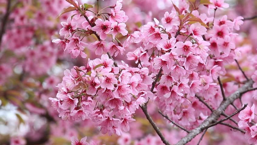 Beautiful Cherry Blossom , Pink Sakura Flower Stock ...