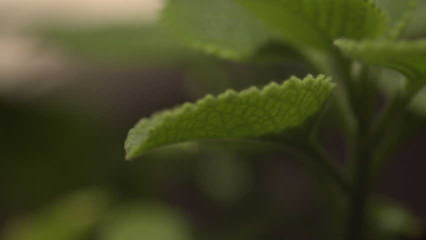Wider shot of water dropping on several leaves | Shutterstock HD Video #5453426