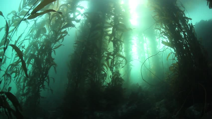 giant kelp macrocystis pyrifera grows up towards the