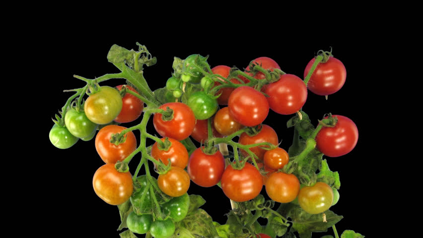 Time-lapse of growing and ripening tomato vegetables in .PNG+ format with alpha transparency channel isolated on black background