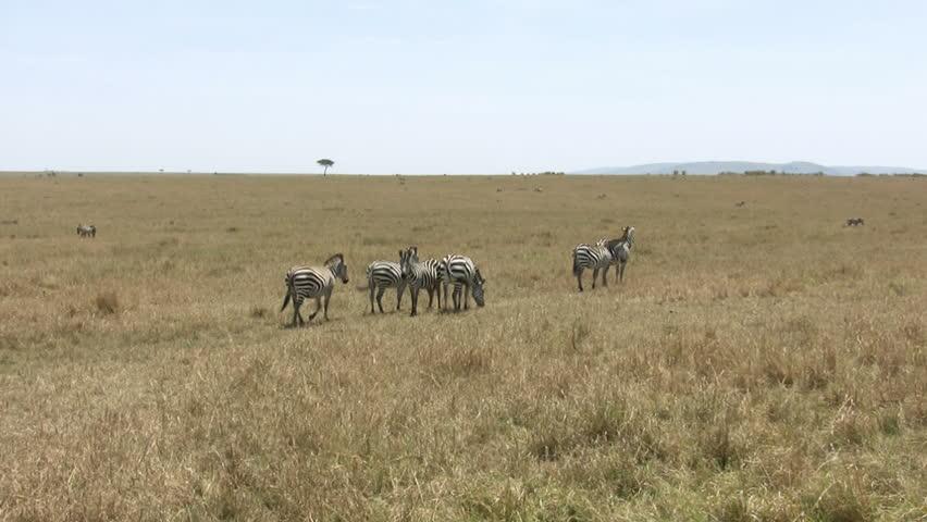 Grant's Zebra, Masai Mara, Kenya - HD stock video clip