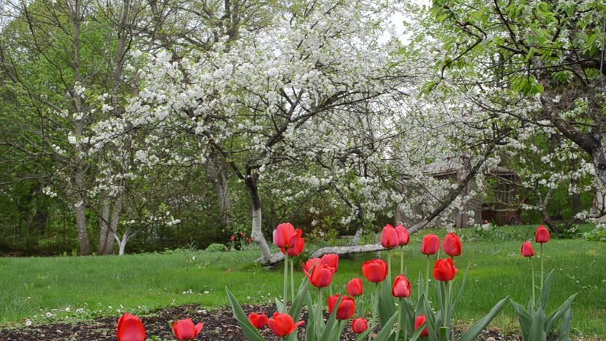 Sun illuminated colorful tulip flower blooms grow under decorative tree in garden and rain water - Planting fruit trees in the fall a garden full of vigor ...