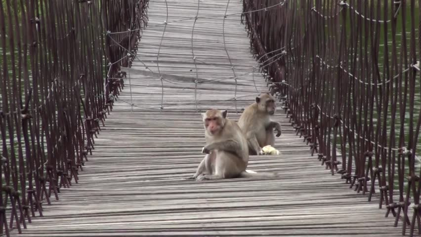 Two monkeys sit on a rope bridge. Fast, long zoom out. Taken in Thailand. #5572910