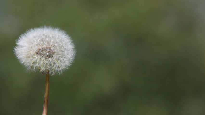 Dandelion blown by the wind   - HD stock video clip