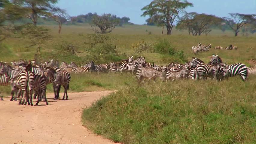Herd of zebra block passage on a dirt road in the Serengeti. pt 3 - HD stock video clip