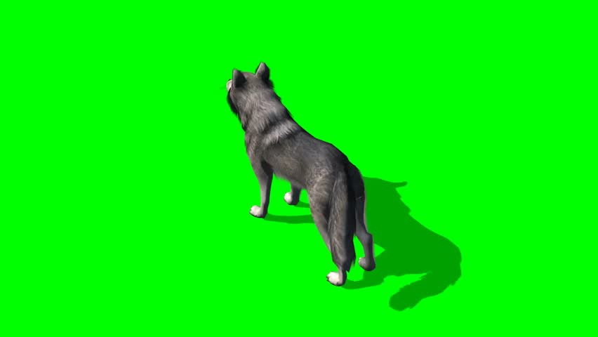 Wolf howls - seperated on green screen  | Shutterstock HD Video #5644964