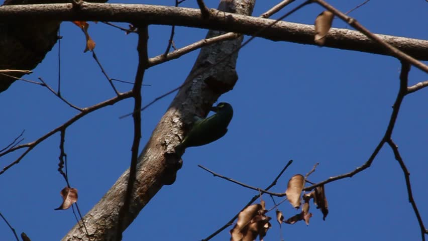 Coppersmith barbet bird burrowing a nest hole in the tree. - HD stock footage clip