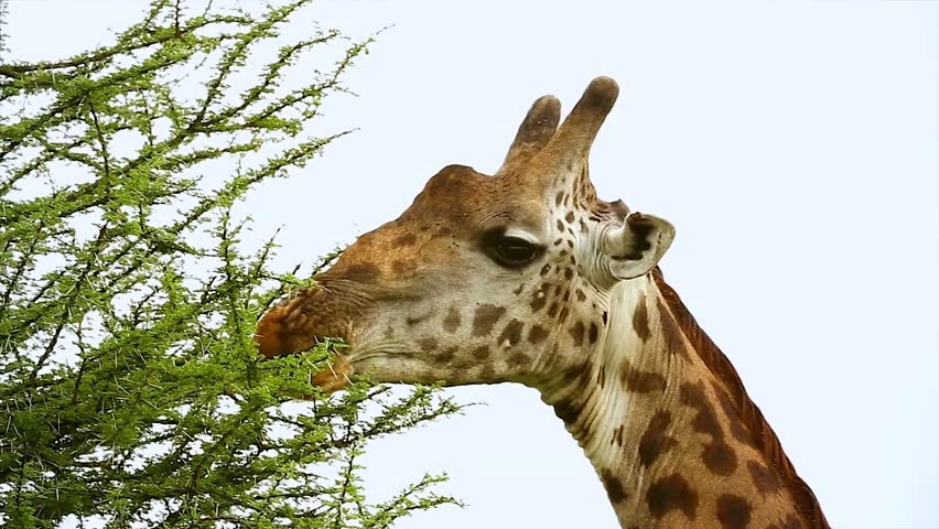 Image masai giraffe giraffa camelopardalis tippelskirchi feeds on acacia download - Zen tuinmodel ...
