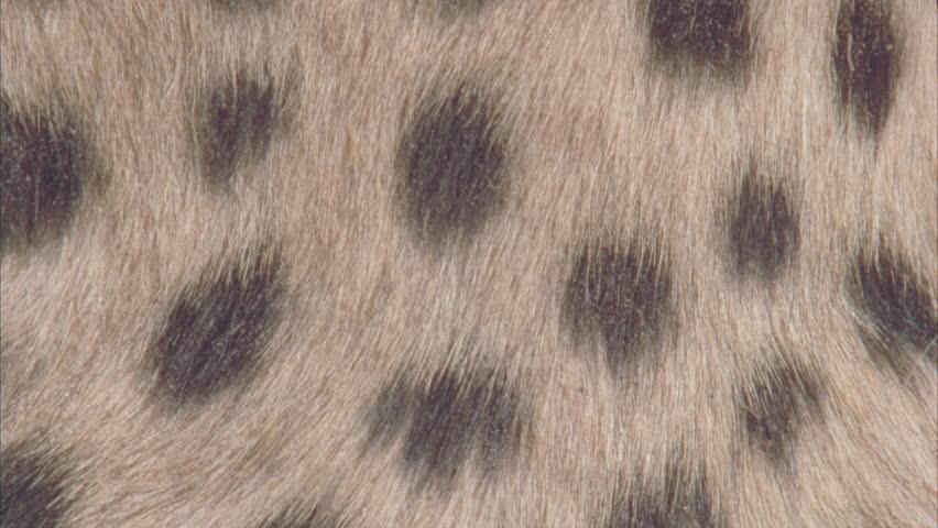 Cheetah Fur Close Up Close Up Cheeta...