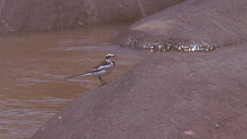Header of African Pied Wagtail