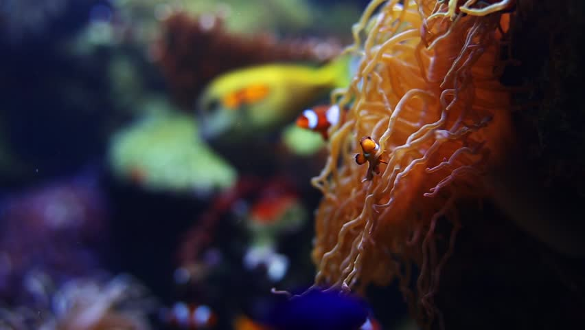 Clown Fish and Coral