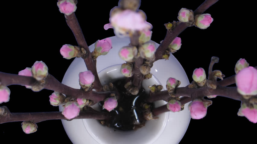 Time-lapse of blooming cherry willow branch 1a1 in PNG+ format with alpha transparency channel isolated on black background