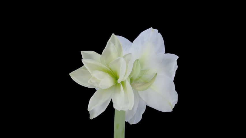 """Time-lapse of opening white """"Alfresco"""" amaryllis Christmas flower 4x1 in PNG+ format with alpha transparency channel isolated on black background.    Shutterstock HD Video #5806460"""