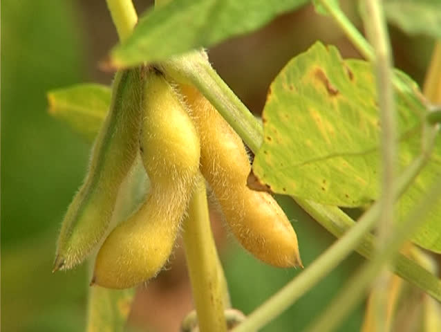 Parts of the soy plant : leaves,stem and fruit on the soybean field in summer