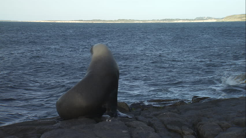 Australian Sea Lion sliding into the water | Shutterstock HD Video #5833451