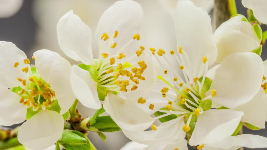 4k 25 fps time lapse video of a wild plum flower growing on a dark background/Wild plum flower blossoming | Shutterstock HD Video #5871224