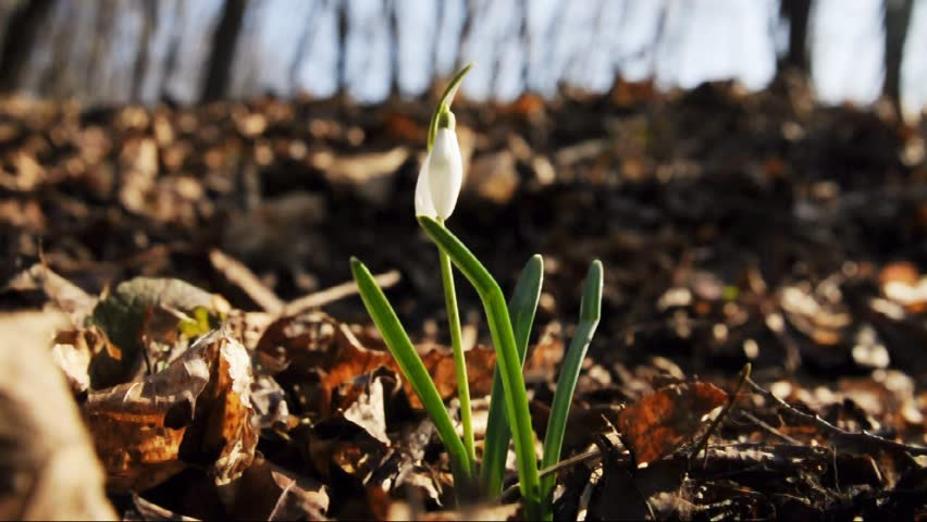 Snowdrop against old leaves in spring wood - HD stock video clip