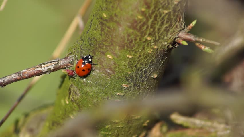 Ladybugs crawl on the tree in the spring | Shutterstock HD Video #5924261