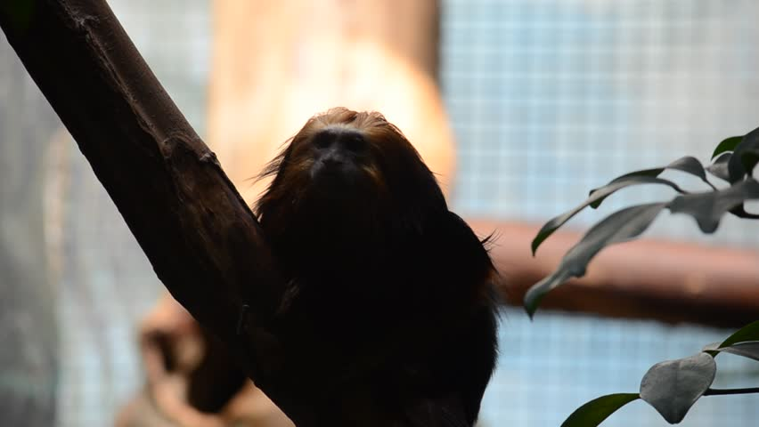 Black lion tamarin is watching his neighborhood inside zoo of antwerp. | Shutterstock HD Video #5945519