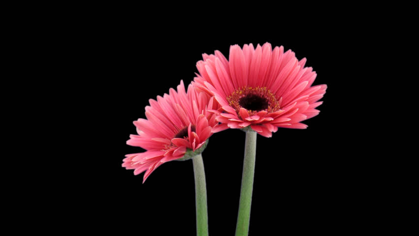 Time-lapse of opening pink gerbera flower 1a1 in PNG+ format with alpha transparency channel isolated on black background.