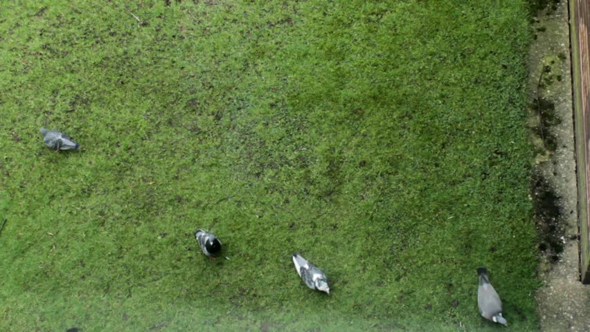Pigeons seeking their food in the green grass - the view through the window 2 - HD stock video clip