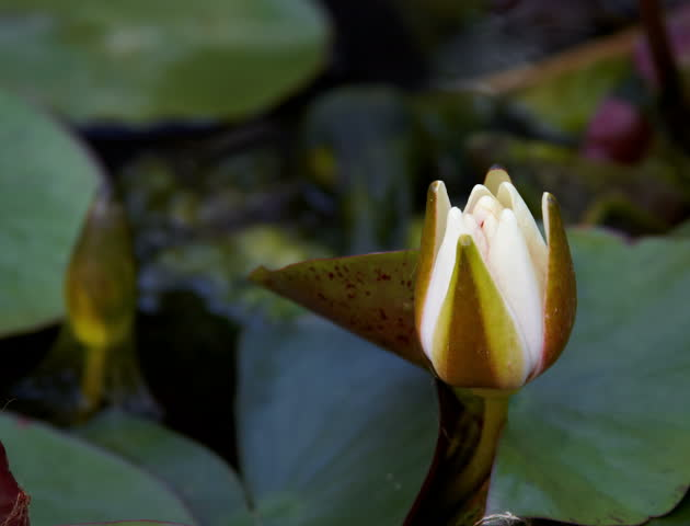 Time lapse opening of water lily flower 4K | Shutterstock HD Video #5997359