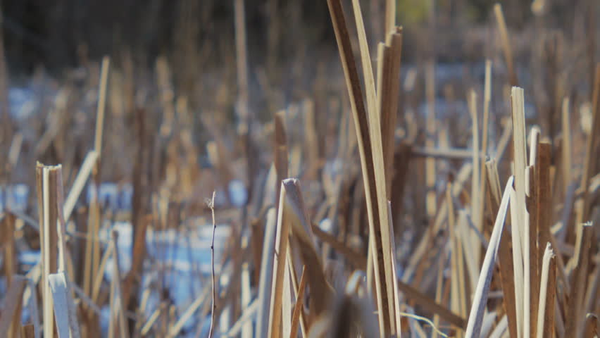 Common bulrushes (Typha latifolia) in early Spring. - HD stock footage clip