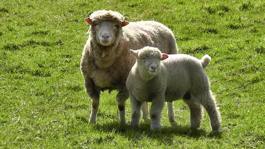 Sheep with lamb looking at the camera and bleats - HD stock video clip