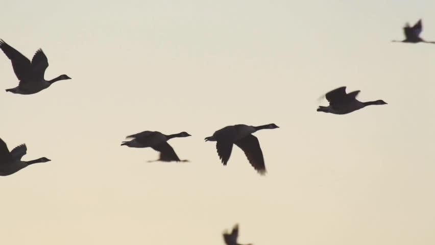 wild goose - HD stock footage clip