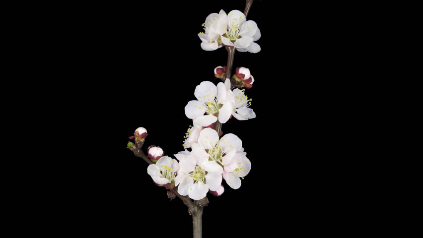 Time-lapse of blooming apricot branch 1a1 in PNG+ format with alpha transparency channel isolated on black background