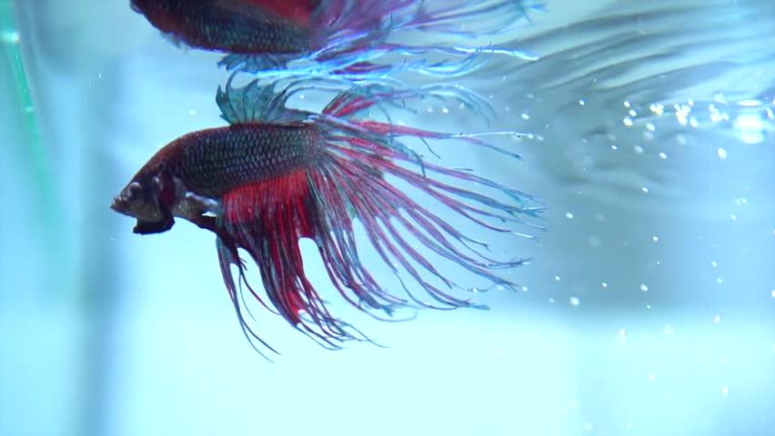 Betta fish closeup colorful dragon fish aquarium slow for Fish tank camera