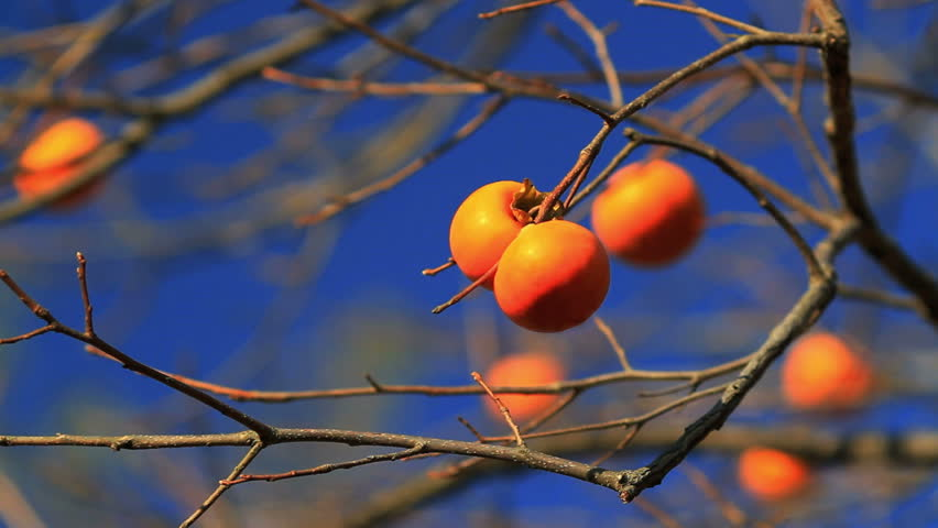 Persimmons on the tree with blue sky in the background.